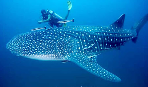 whale shark in Donsol Sorsogon philippines