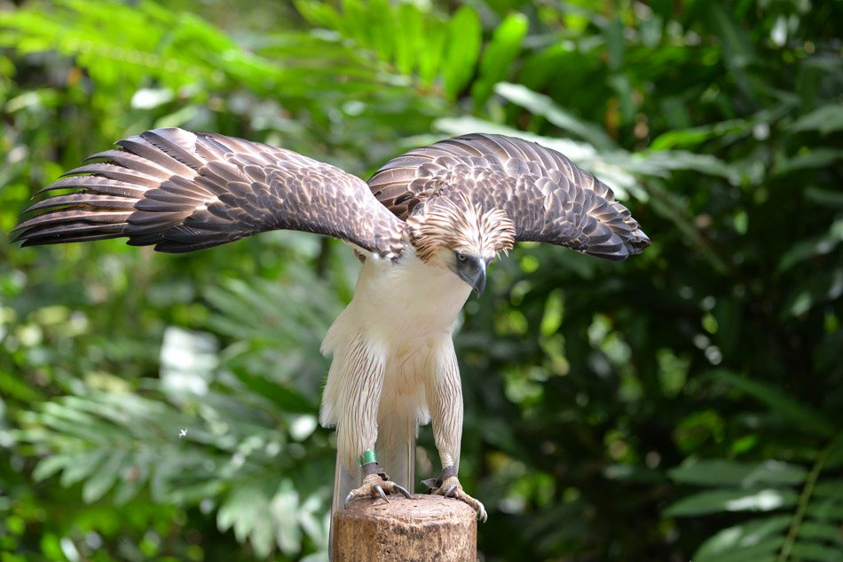 Philippine eagle best places to visit in the Philippines